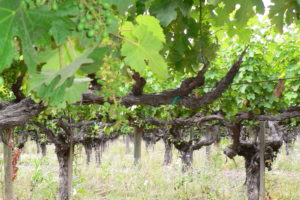 What Do Old Vines do for Wine?